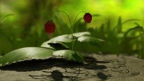 Arbusto de fresa almacen de metraje de vídeo
