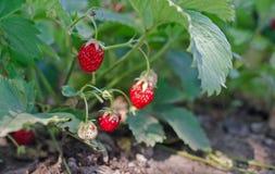 Arbusto de fresa Imagen de archivo