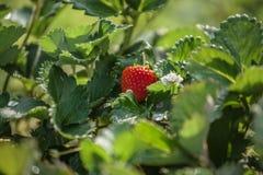 Arbusto de fresa Foto de archivo libre de regalías