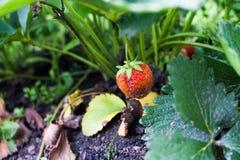Arbusto de fresa Imágenes de archivo libres de regalías