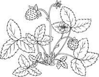 Arbusto de fresa con las bayas Foto de archivo libre de regalías