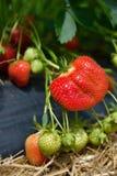 Arbusto de fresa que crece en el jardín Imágenes de archivo libres de regalías