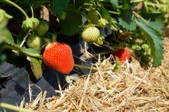 Arbusto de fresa que crece en el jardín Fotos de archivo libres de regalías