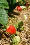 Arbusto de fresa que crece en el jardín Fotografía de archivo