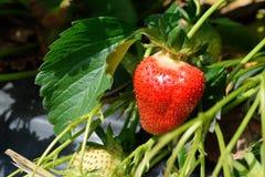 Arbusto de fresa que crece en el jardín Foto de archivo libre de regalías