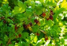 Arbusto de groselha com as bagas maduras no jardim do verão fotografia de stock