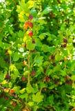Arbusto de groselha com as bagas maduras no jardim do verão foto de stock