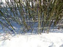 Arbusto de hojas caducas en la nieve imagenes de archivo