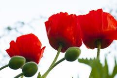Arbusto de la amapola Fotos de archivo