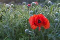 Arbusto de la amapola Imagenes de archivo