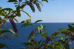 Arbusto de la baya Fotografía de archivo