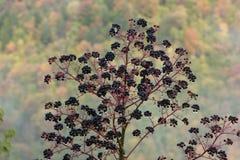 Arbusto de la baya por completo de gotas de agua Fotos de archivo libres de regalías