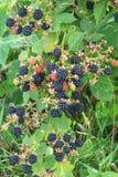 Arbusto de la baya de zarza con el primer maduro negro de las bayas El concepto de cosechar bayas en el campo fotos de archivo