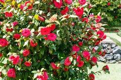 Arbusto de la camelia con las flores rojas en día de primavera soleado Imagenes de archivo