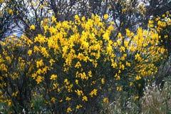 Arbusto de la escoba Fotografía de archivo libre de regalías