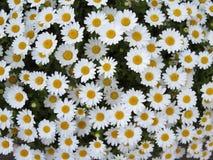 Arbusto de la flor de la margarita blanca Foto de archivo libre de regalías