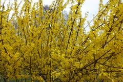 Arbusto de la forsythia en la plena floración en abril Fotos de archivo libres de regalías