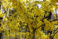 Arbusto de la forsythia en la plena floración en el parque Imágenes de archivo libres de regalías