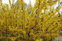 Arbusto de la forsythia en la plena floración en primavera Fotos de archivo