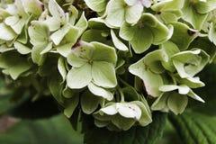 Arbusto de la hortensia Imagenes de archivo