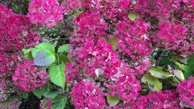 Arbusto de la hortensia en la caída almacen de metraje de vídeo