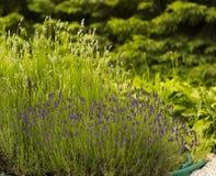 Arbusto de la lavanda de las flores en pote el día de verano en jardín Fotografía de archivo
