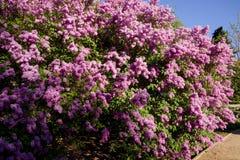 Arbusto de la lila fotos de archivo libres de regalías