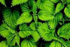 Arbusto de la ortiga Fotos de archivo libres de regalías