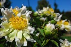 Arbusto de la peonía en un día soleado Fotos de archivo libres de regalías