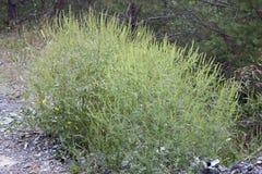 Arbusto de la planta del Ragweed Fotografía de archivo