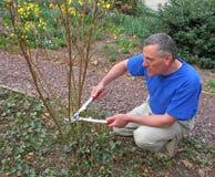 Arbusto de la poda del hombre Imagen de archivo libre de regalías