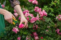 Arbusto de la poda en jardín Imagenes de archivo