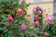 Arbusto de la primavera de la rosa salvaje fotografía de archivo