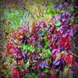 Arbusto de la uva Imágenes de archivo libres de regalías