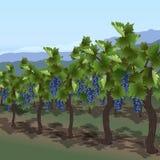 Arbusto de la uva con las bayas y las hojas fotos de archivo