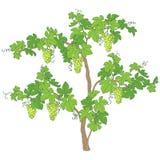Arbusto de la uva con los manojos y las hojas Foto de archivo