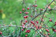 Arbusto de las bayas Imagen de archivo libre de regalías
