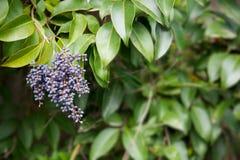 Arbusto de las bayas de Privet Fotos de archivo