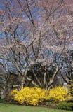 Arbusto de las flores de cerezo y de la forsythia Fotos de archivo libres de regalías