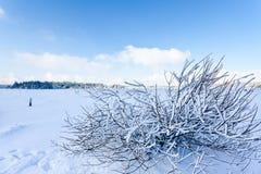 Arbusto de las ramas de la nieve del invierno, altos pantanos, Bélgica Fotos de archivo libres de regalías