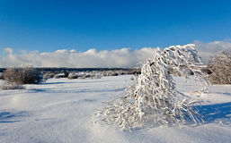 Arbusto de las ramas de la nieve del invierno, altos pantanos, Bélgica Fotografía de archivo libre de regalías