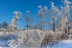 Arbusto de las ramas de la nieve del invierno, altos pantanos, Bélgica Fotografía de archivo