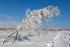 Arbusto de las ramas de la nieve del invierno, altos pantanos, Bélgica Imagenes de archivo