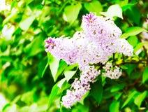 Arbusto de lila Imagen de archivo