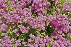 Arbusto de lila Fotografía de archivo libre de regalías