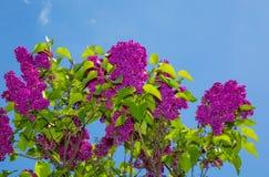 Arbusto de lila fotos de archivo