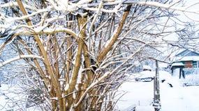 Arbusto de lila debajo de la nieve en el invierno en un señorío rural imágenes de archivo libres de regalías