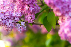 Arbusto de lila en flor Fotos de archivo libres de regalías