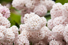 Arbusto de lila floreciente Fotos de archivo libres de regalías
