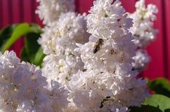 Arbusto de lila floreciente de las flores blancas Foto de archivo libre de regalías